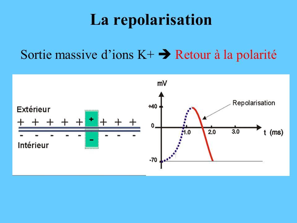 La repolarisation Sortie massive d'ions K+  Retour à la polarité - +