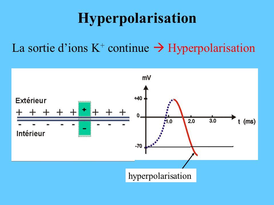 Hyperpolarisation La sortie d'ions K+ continue  Hyperpolarisation + -