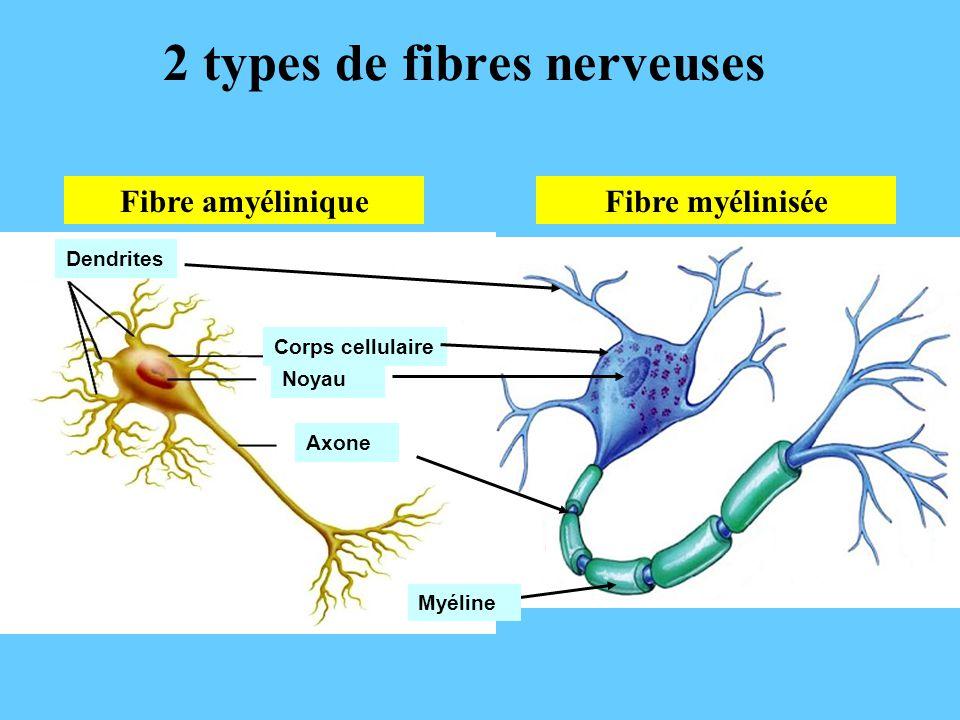 2 types de fibres nerveuses
