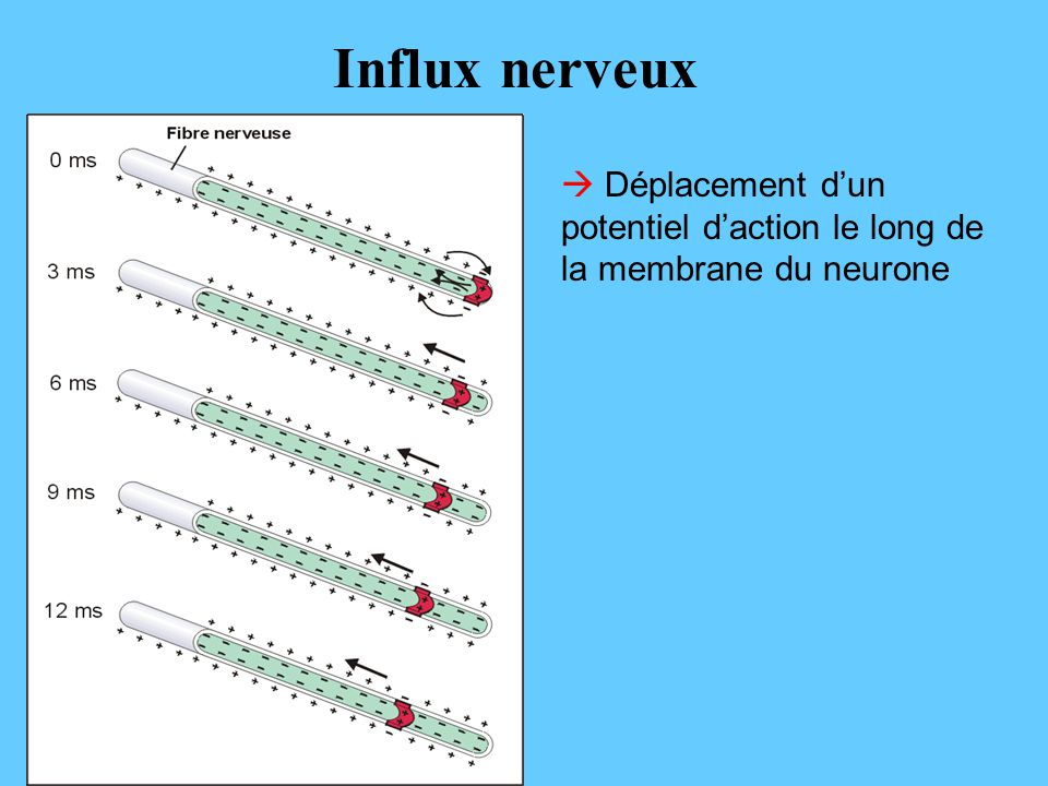 Influx nerveux  Déplacement d'un potentiel d'action le long de la membrane du neurone