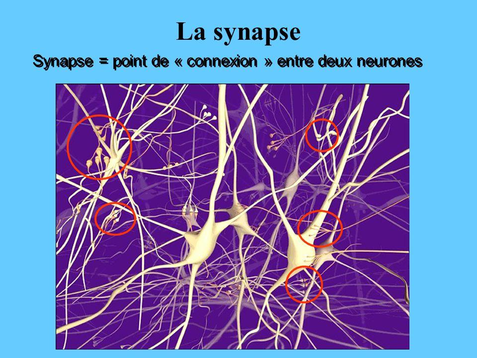 La synapse Synapse = point de « connexion » entre deux neurones