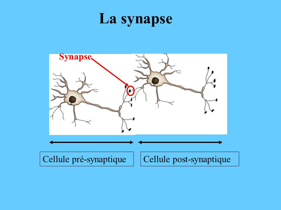 La synapse Synapse Cellule pré-synaptique Cellule post-synaptique