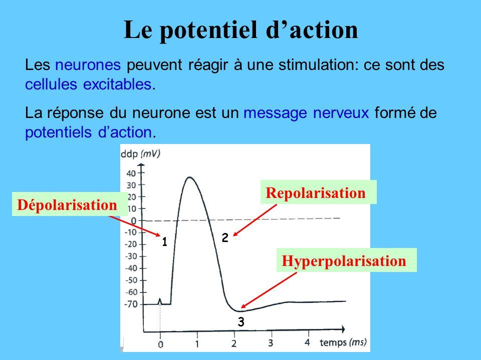 Le potentiel d'action Les neurones peuvent réagir à une stimulation: ce sont des cellules excitables.