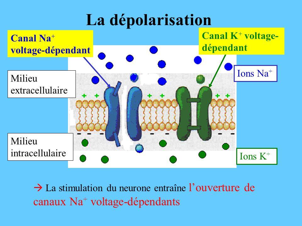 La dépolarisation Canal K+ voltage-dépendant