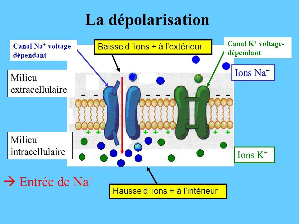 La dépolarisation  Entrée de Na+ Ions Na+ Milieu extracellulaire - +