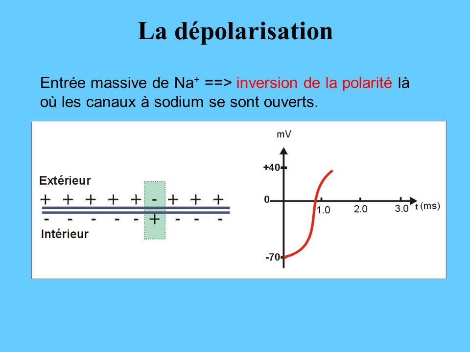 La dépolarisation Entrée massive de Na+ ==> inversion de la polarité là où les canaux à sodium se sont ouverts.