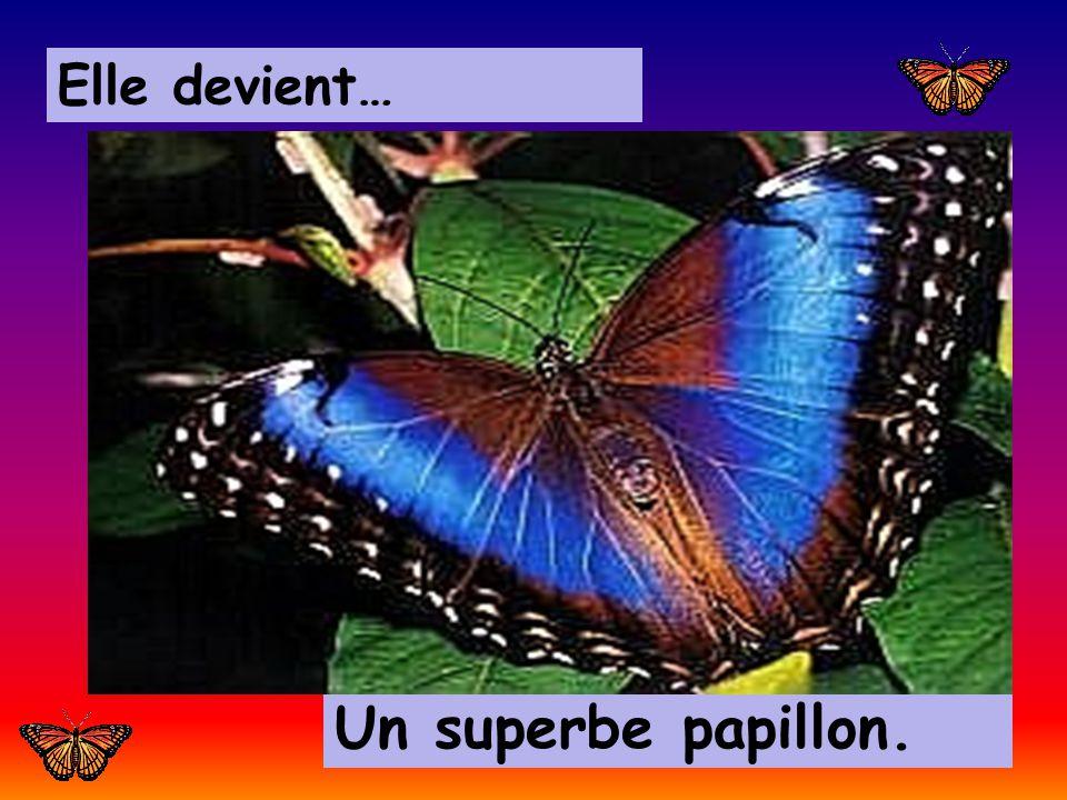 Elle devient… Un superbe papillon.