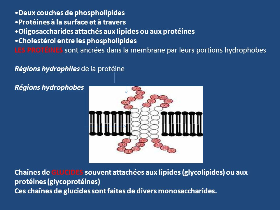 Deux couches de phospholipides Protéines à la surface et à travers