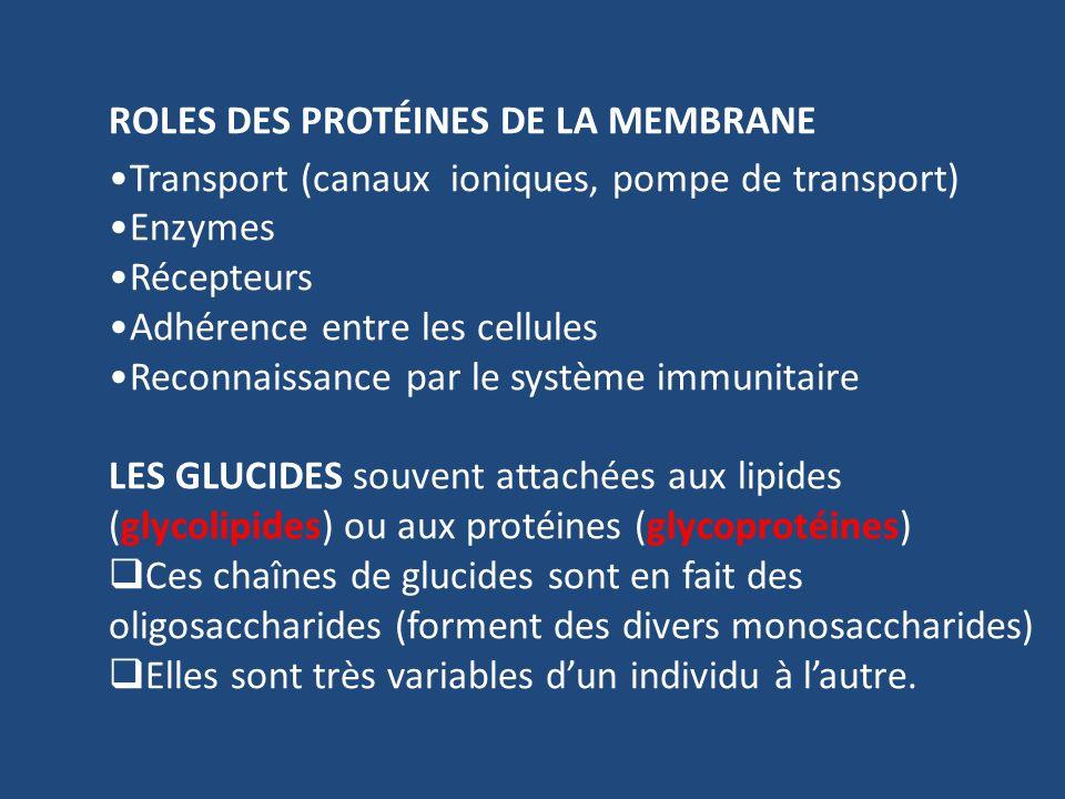 ROLES DES PROTÉINES DE LA MEMBRANE