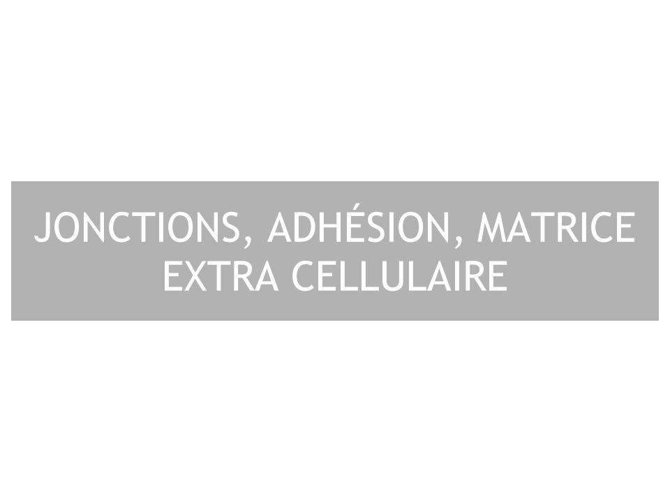 JONCTIONS, ADHÉSION, MATRICE EXTRA CELLULAIRE