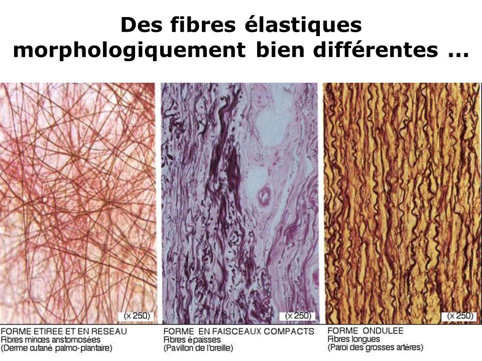 Des fibres élastiques morphologiquement bien différentes ...