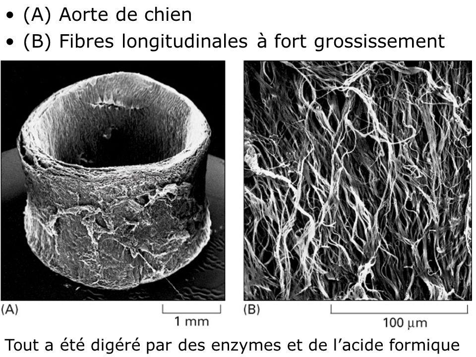 (A) Aorte de chien (B) Fibres longitudinales à fort grossissement. Mardi 12 février 2008. Fig 19-51.