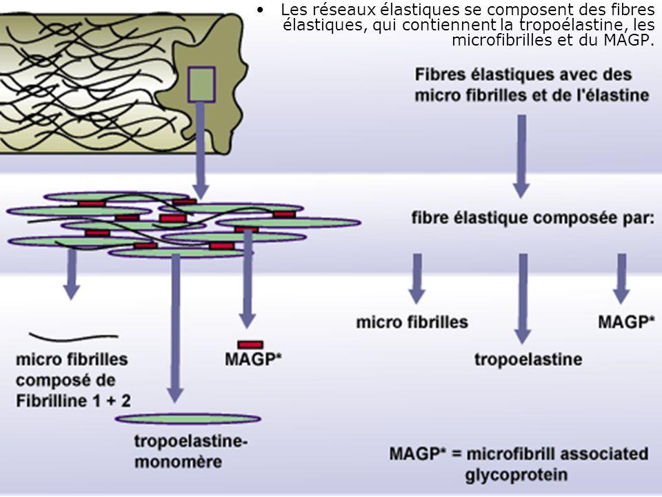 Les réseaux élastiques se composent des fibres élastiques, qui contiennent la tropoélastine, les microfibrilles et du MAGP.