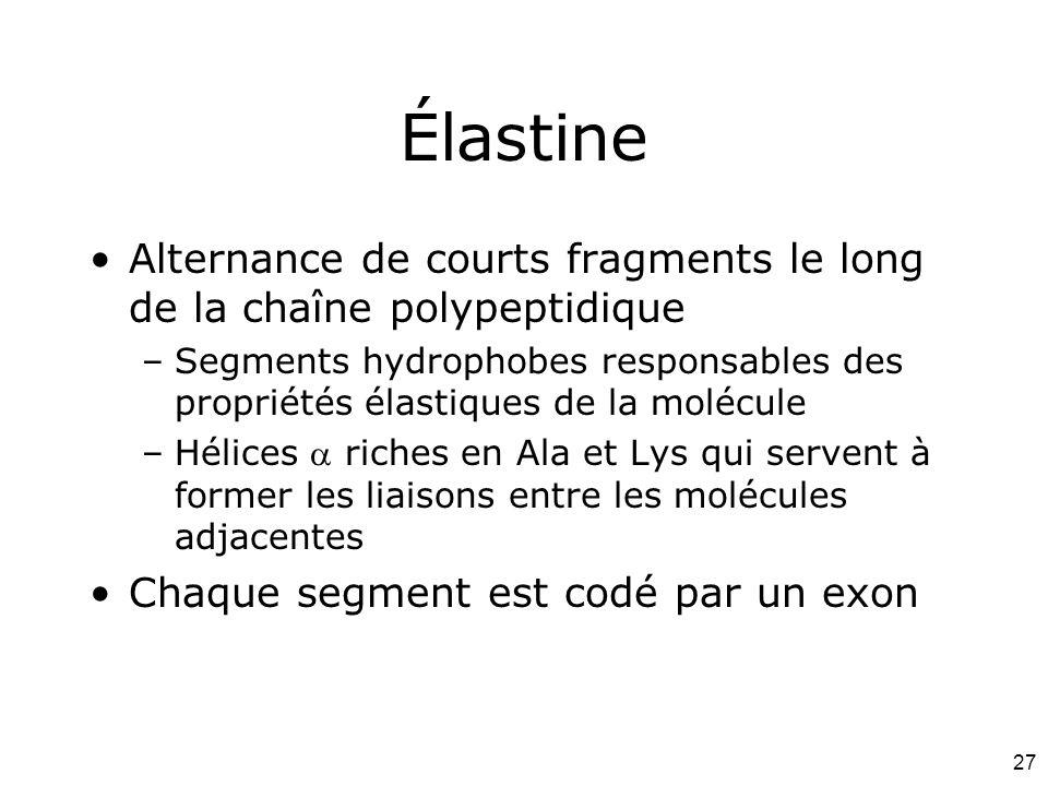 Mardi 12 février 2008 Élastine. Alternance de courts fragments le long de la chaîne polypeptidique.