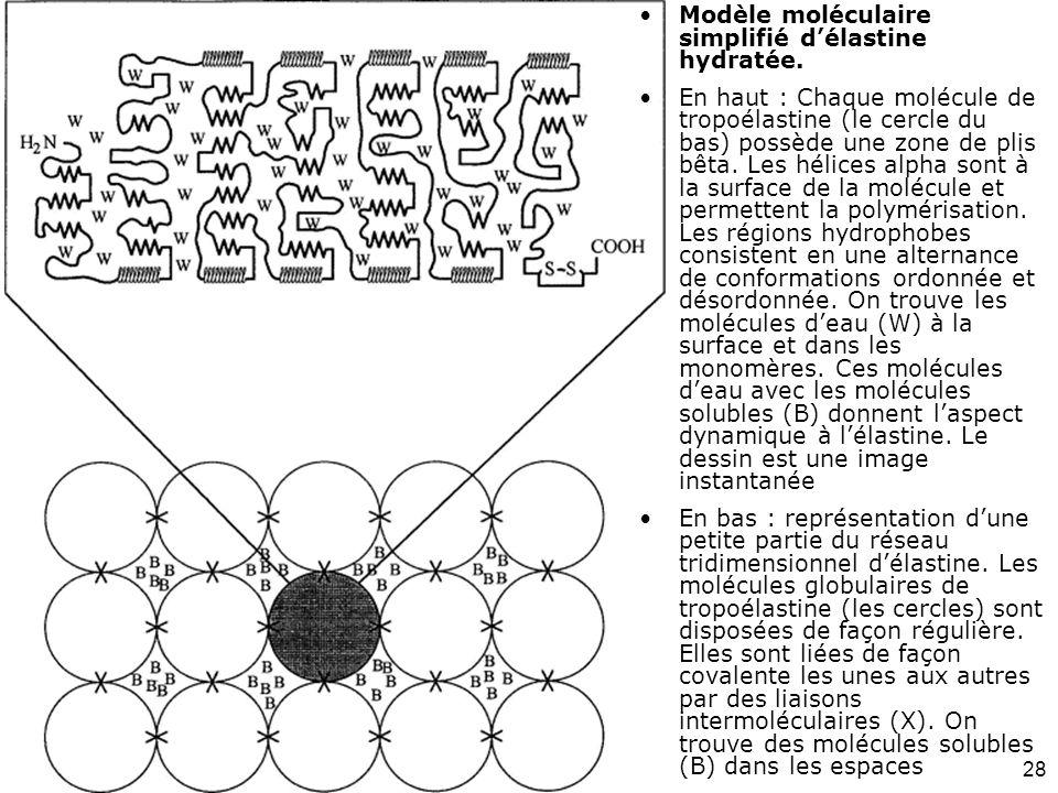 Modèle moléculaire simplifié d'élastine hydratée.