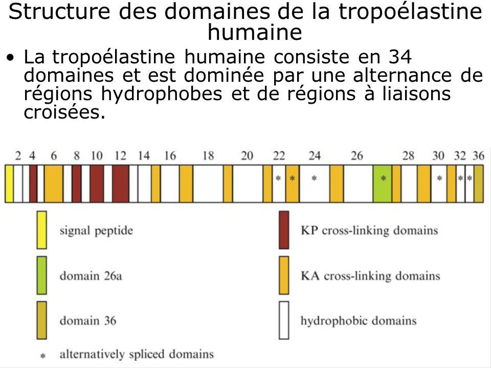 Structure des domaines de la tropoélastine humaine