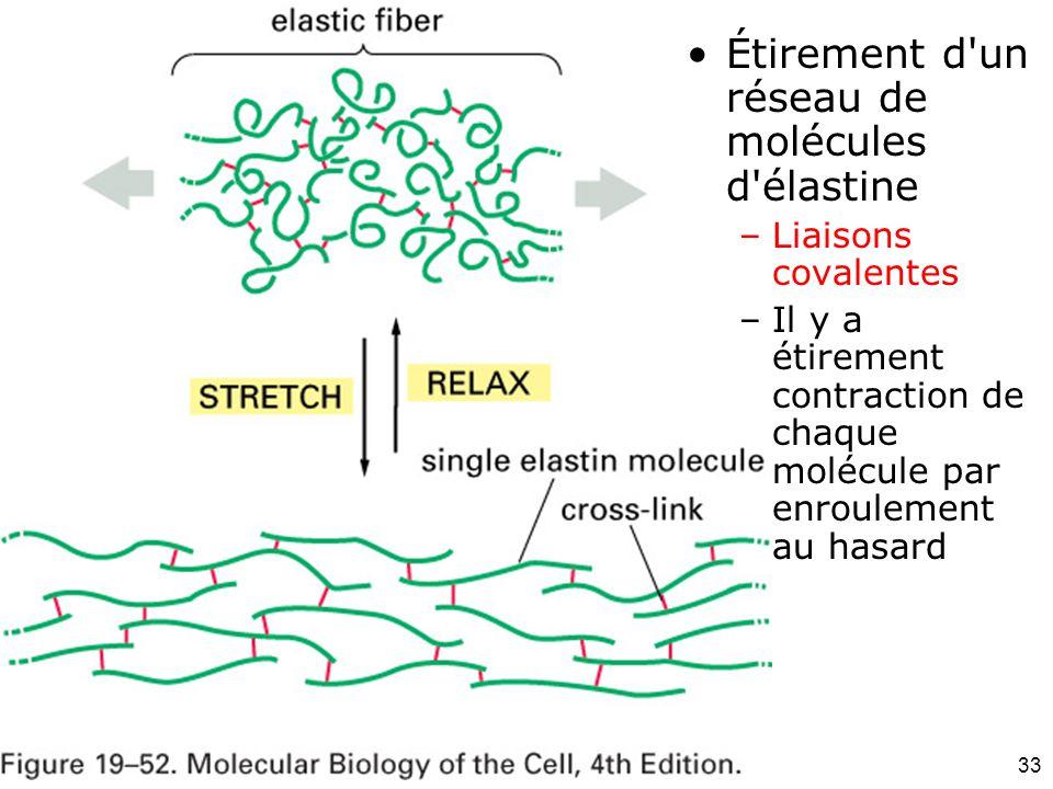 Fig 19-52 Étirement d un réseau de molécules d élastine