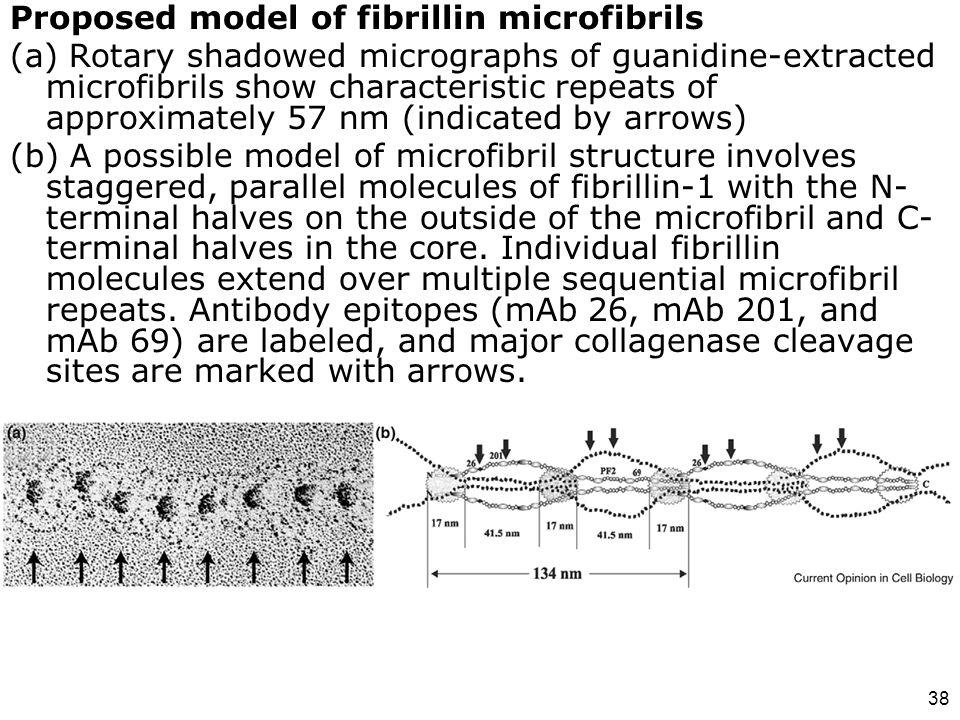 Proposed model of fibrillin microfibrils