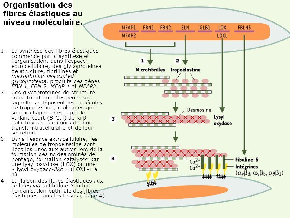 Organisation des fibres élastiques au niveau moléculaire.