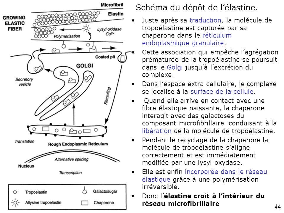 Schéma du dépôt de l'élastine.