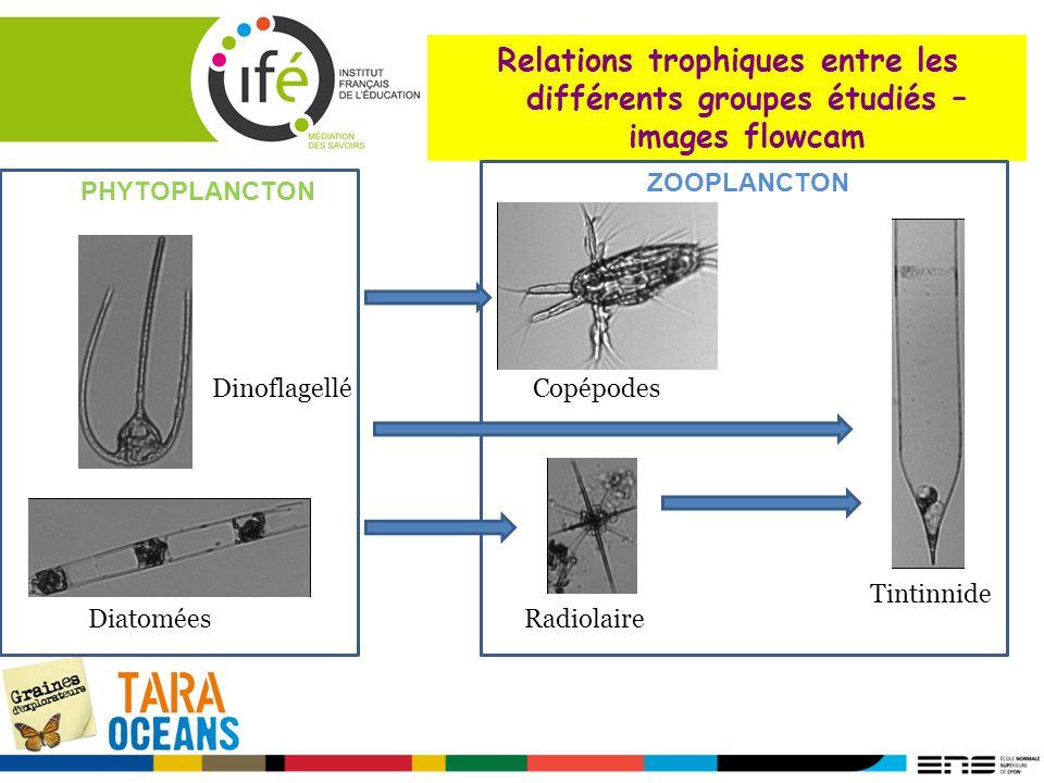 Relations trophiques entre les différents groupes étudiés –images flowcam