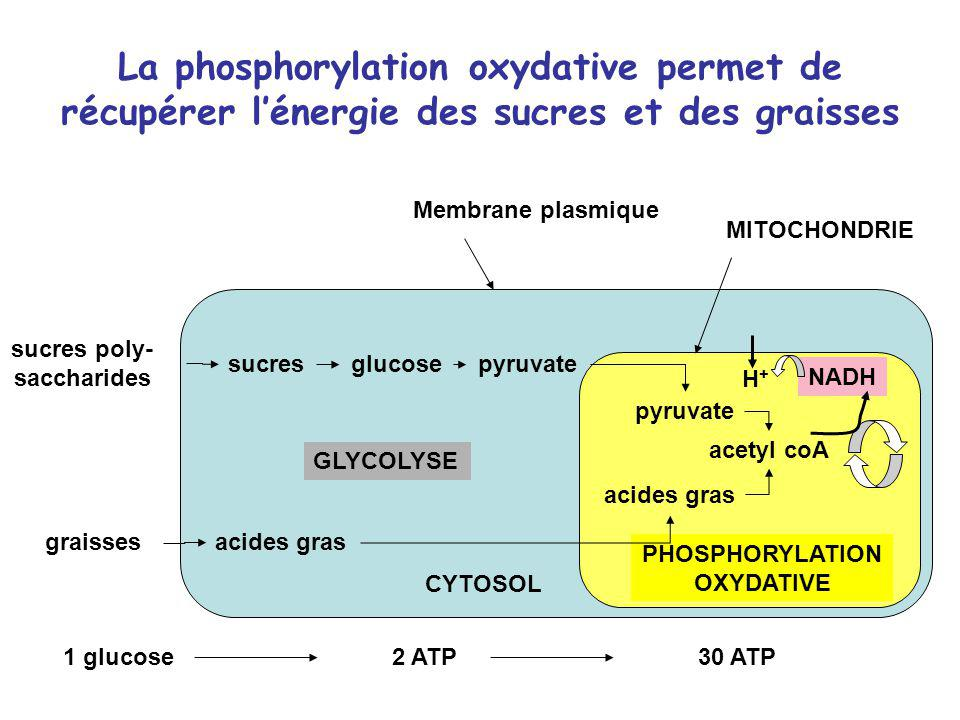 sucres poly-saccharides