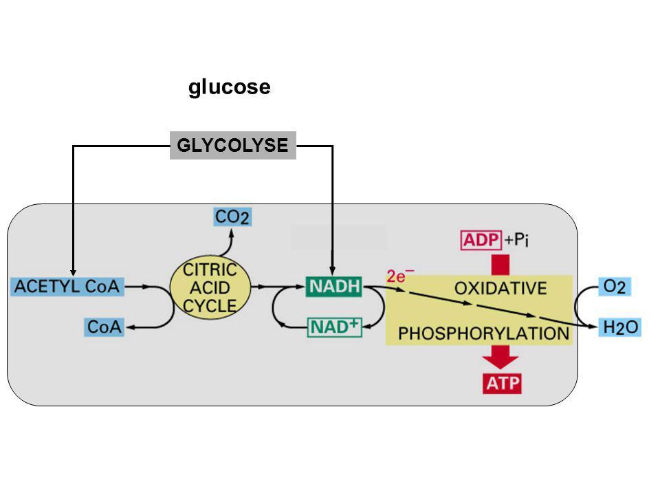 glucose GLYCOLYSE