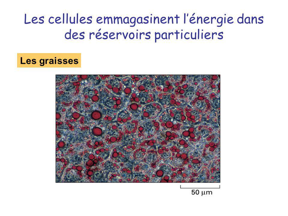 Les cellules emmagasinent l'énergie dans des réservoirs particuliers
