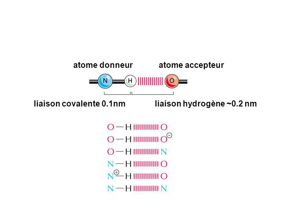 atome donneur atome accepteur liaison covalente 0.1nm liaison hydrogène ~0.2 nm