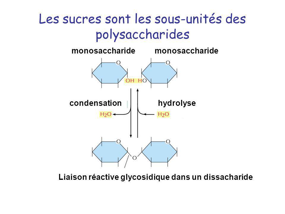 Les sucres sont les sous-unités des polysaccharides