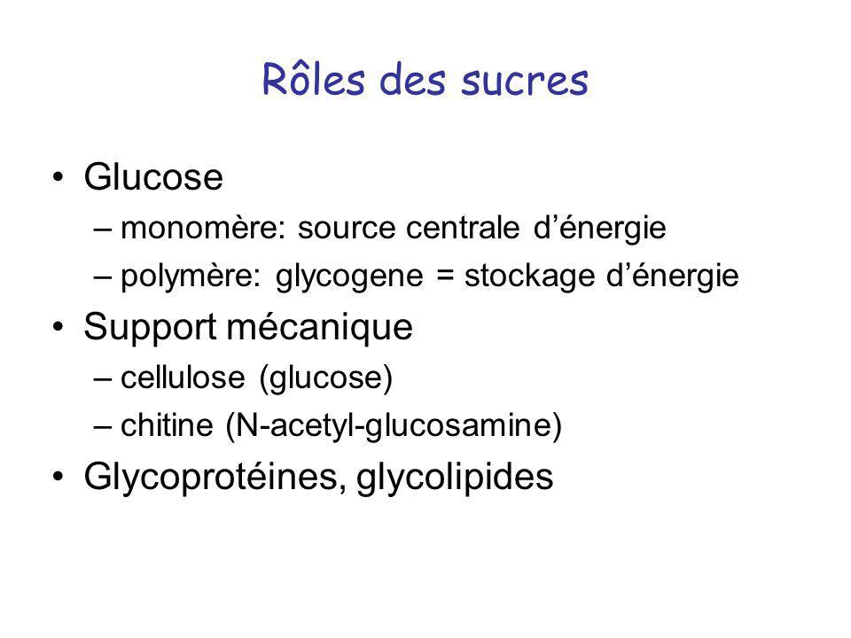 Rôles des sucres Glucose Support mécanique