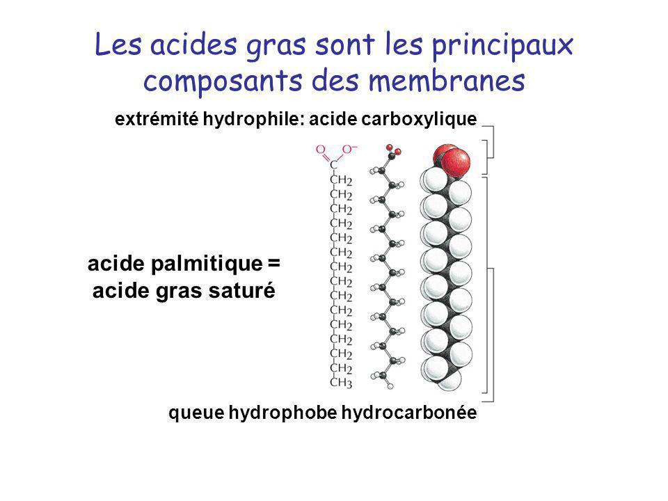 Les acides gras sont les principaux composants des membranes