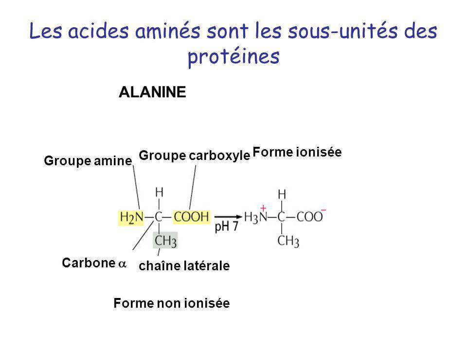 Les acides aminés sont les sous-unités des protéines