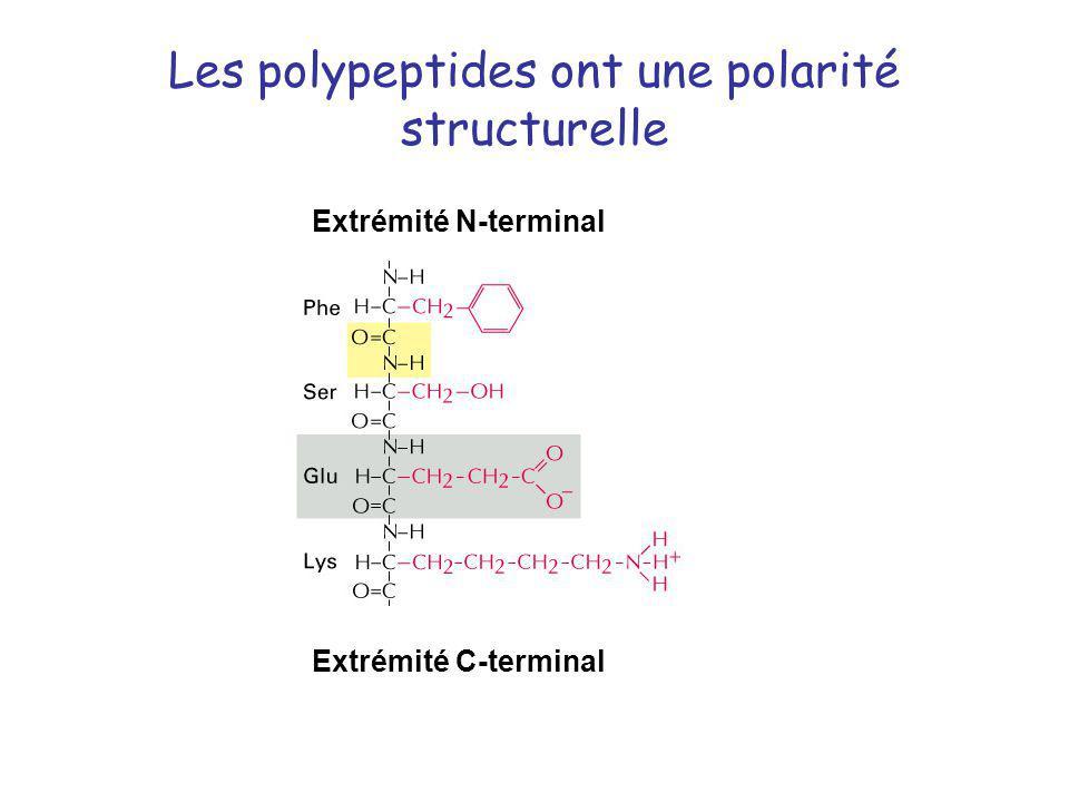 Les polypeptides ont une polarité structurelle