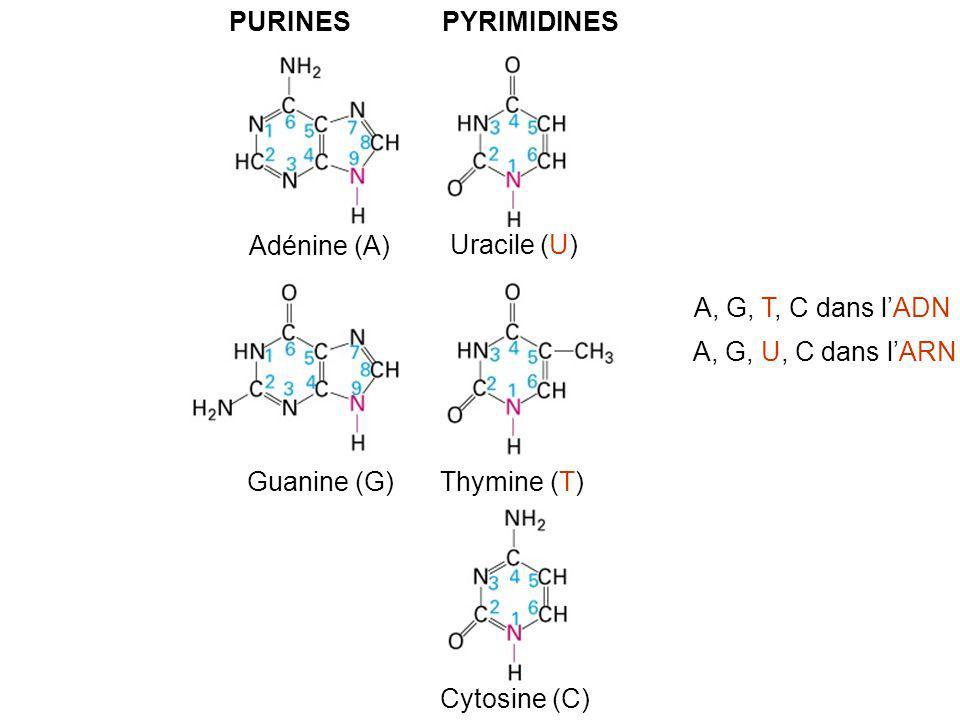 PURINES PYRIMIDINES. Adénine (A) Uracile (U) Guanine (G) Thymine (T) Cytosine (C) A, G, T, C dans l'ADN.
