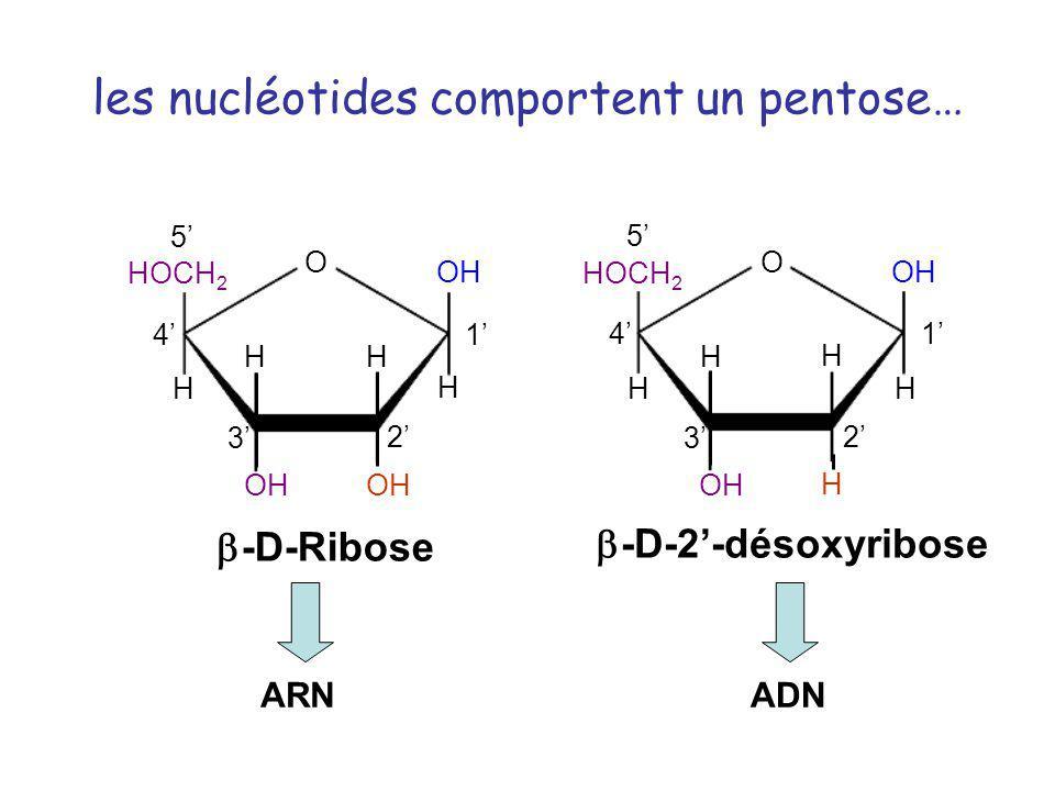 les nucléotides comportent un pentose…