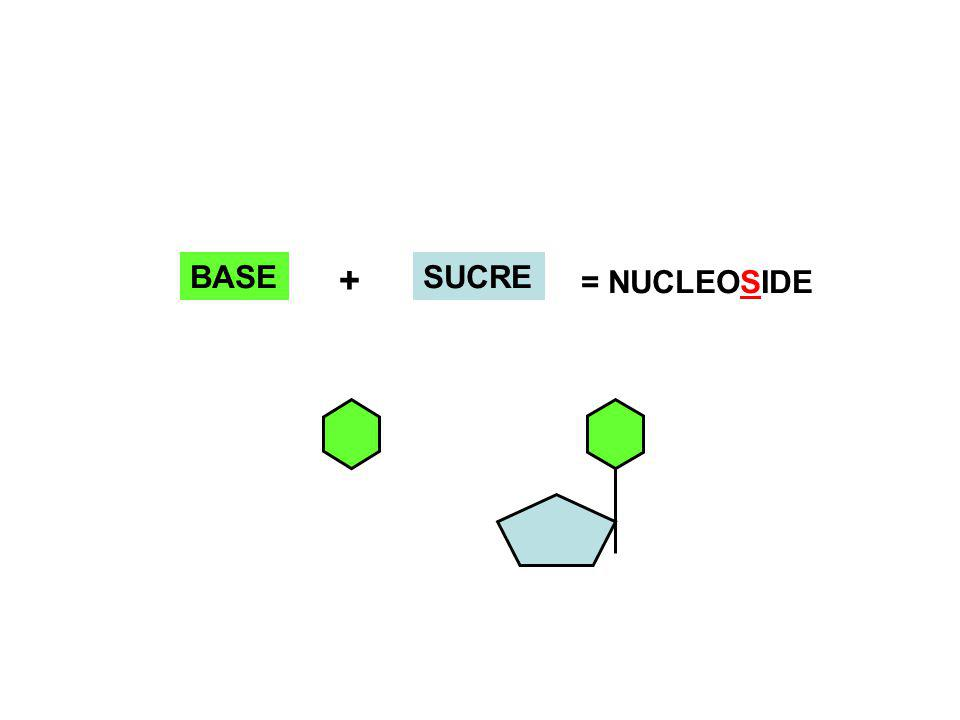 BASE SUCRE + = NUCLEOSIDE