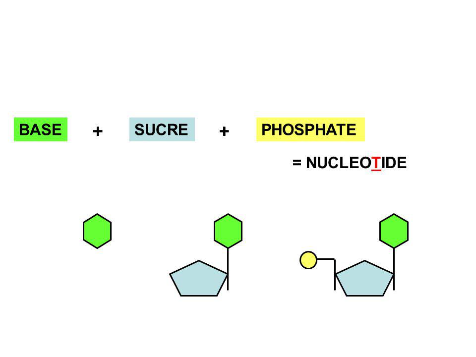 BASE SUCRE + + PHOSPHATE = NUCLEOTIDE