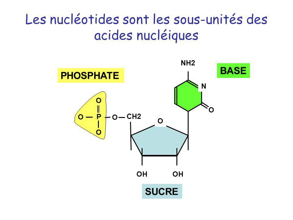 Les nucléotides sont les sous-unités des acides nucléiques