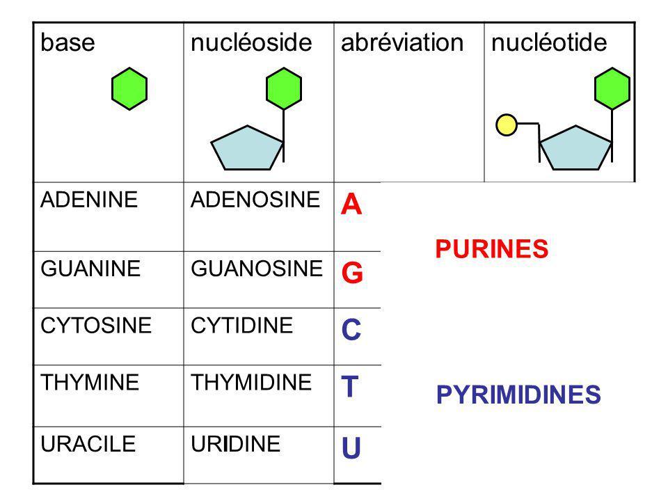 A G C T U base nucléoside abréviation nucléotide AMP, dAMP GTP UDP