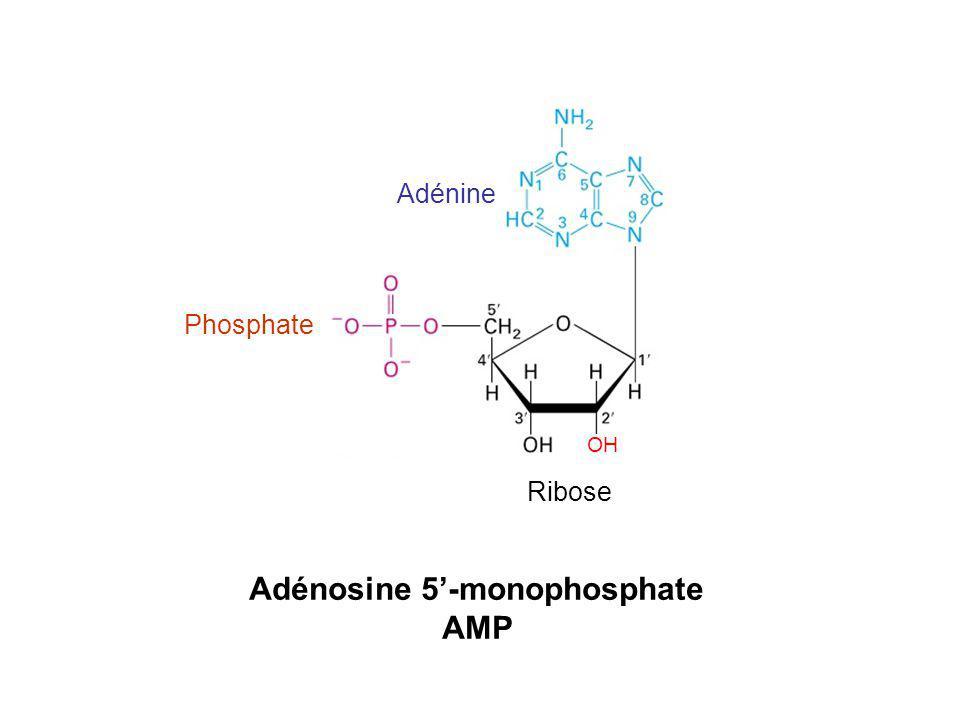 Adénosine 5'-monophosphate
