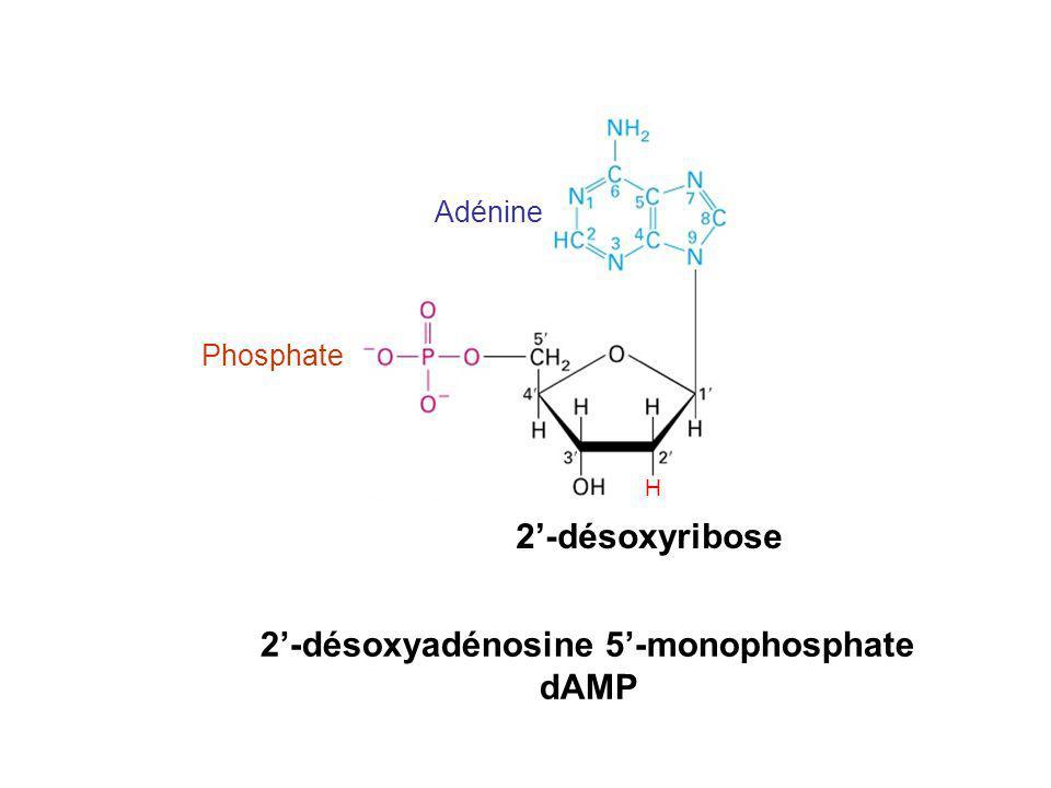 2'-désoxyadénosine 5'-monophosphate