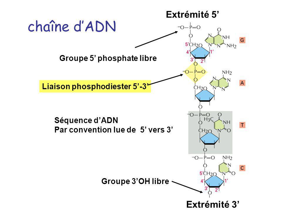 chaîne d'ADN Extrémité 5' Extrémité 3' Groupe 5' phosphate libre