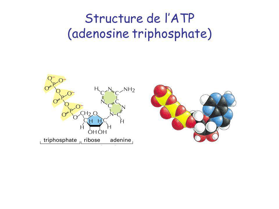 Structure de l'ATP (adenosine triphosphate)