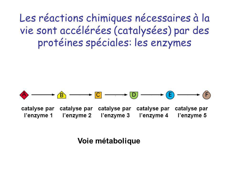 Les réactions chimiques nécessaires à la vie sont accélérées (catalysées) par des protéines spéciales: les enzymes