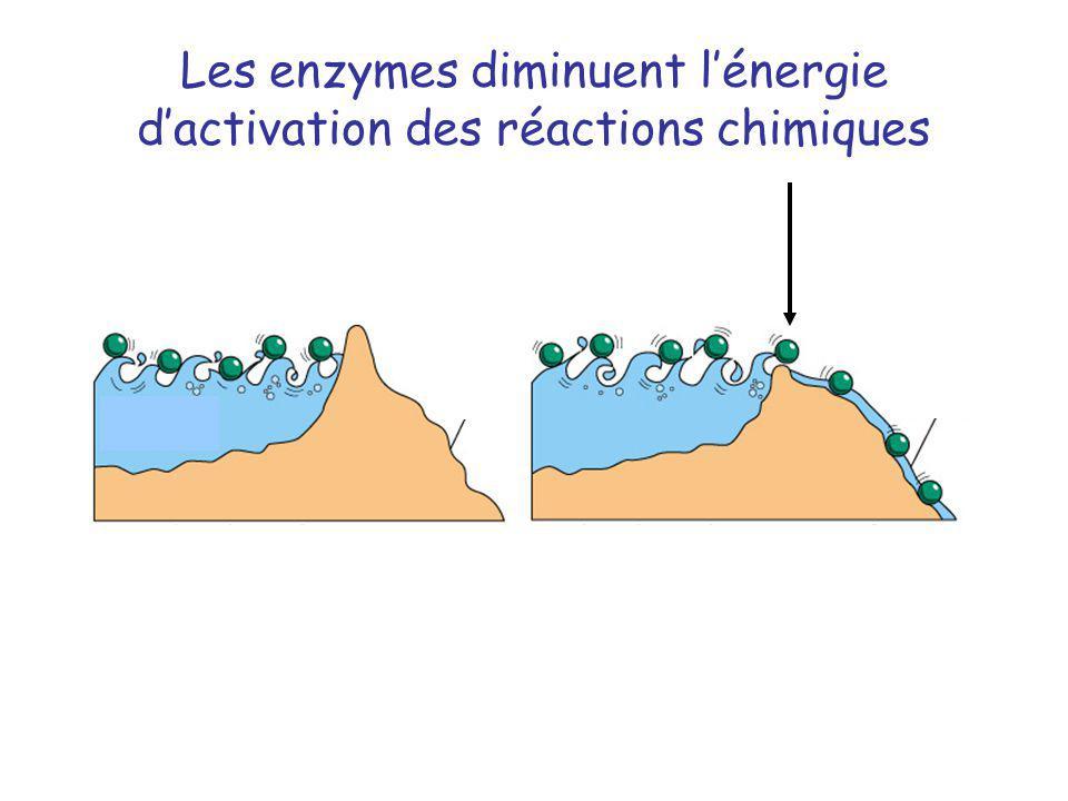 Les enzymes diminuent l'énergie d'activation des réactions chimiques
