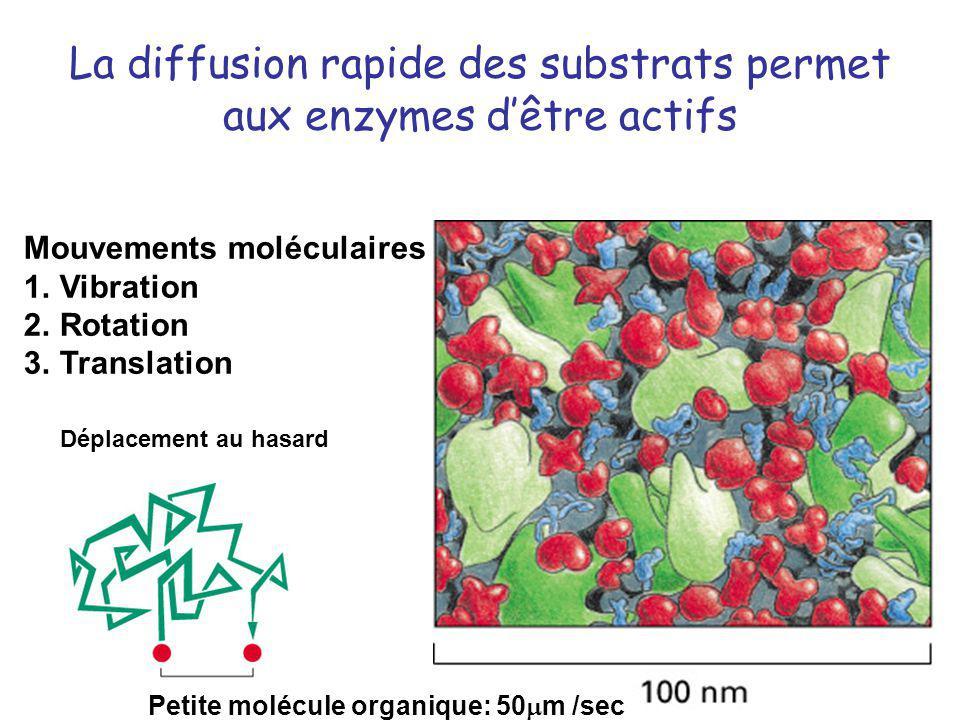 La diffusion rapide des substrats permet aux enzymes d'être actifs