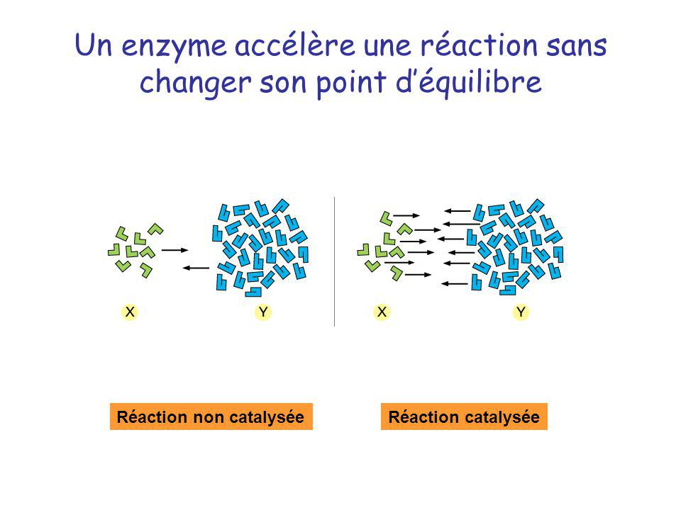 Un enzyme accélère une réaction sans changer son point d'équilibre