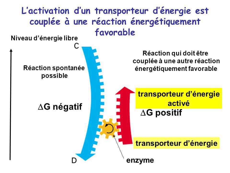 L'activation d'un transporteur d'énergie est couplée à une réaction énergétiquement favorable