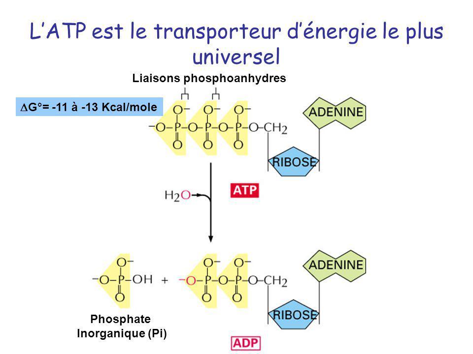 L'ATP est le transporteur d'énergie le plus universel